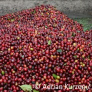 Von der Kaffeefrucht zum Rohkaffee