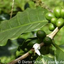 Erntemethoden von Kaffee
